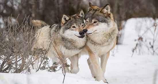 تعبیر خواب گرگ ، تعبیر خواب گرگ و روباه ، تعبیر خواب فرار از گرگ خاکستری