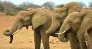 تعبیر خواب فیل ، اهلی و مرده حضرت یوسف و دیدن حمله و فرار و خرطوم فیل در خواب