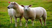 تعبیر خواب گوسفند ، گوسفندان قربانی شده و زنده که حمله و زایمان می کند