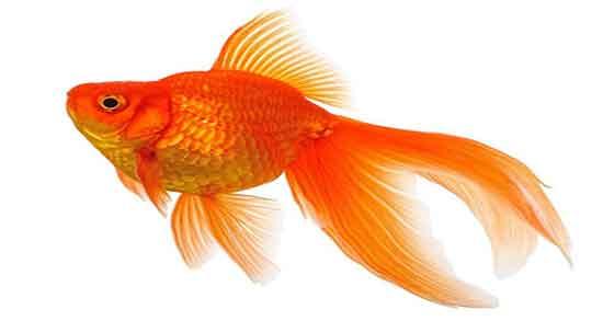 تعبیر خواب ماهی ، سیاه کوچولو و مرده و ماهی قرمز زنده برای زن باردار