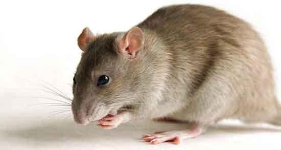 تعبیر خواب موش ، در خانه چیست و گازت بگیره و موش سیاه حضرت یوسف