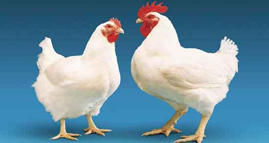 تعبیر خواب مرغ ، و جوجه پخته و بزرگ و تخمگذار و سرخ شده و خروس بریان چیست