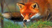تعبیر خواب روباه ، سیاه و سفید و فرار و کشتن و خوردن گوشت روباه و خرگوش