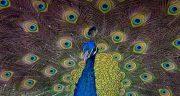 تعبیر خواب طاووس ، نورانی و مرده و سبز رنگ امام جعفر صادق و گرفتن جوجه و پرواز