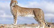 تعبیر خواب یوزپلنگ ، در خانه سیاه بزرگ و دوستی با یوزپلنگ رام و دیدن چیتا