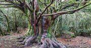 تعبیر خواب آبنوس ، معنی دیدن درخت آبنوس در خواب چیست
