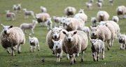 تعبیر خواب گوسفندی که حمله میکند ، کله گوسفندی و زایمان و گله و گم شدن