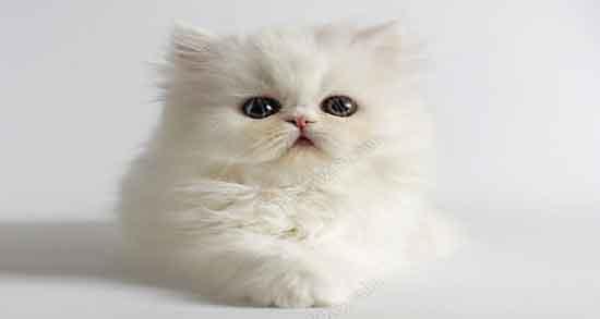 تعبیر خواب گربه سفید ، سخنگو و قهوه های و سیاه پشمالو بزرگ و کوچک ...