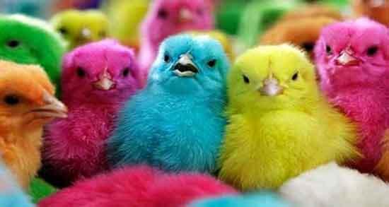 تعبیر خواب جوجه حضرت یوسف ، جوجه های رنگارنگ و گرسنه تازه متولد شده اردک