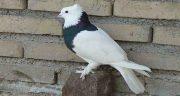 تعبیر خواب کبوتر حضرت یوسف ، کفتر طوقی و کبوتر سفید و یاکریم قرمز در خانه