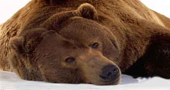 تعبیر خواب خرس قهوه ای امام صادق ، بزرگ و بچه خرس سفید حضرت یوسف و پاندا