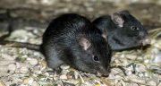تعبیر خواب موش سیاه حضرت یوسف ، کشتن و مرگ و ادرار موش در خانه