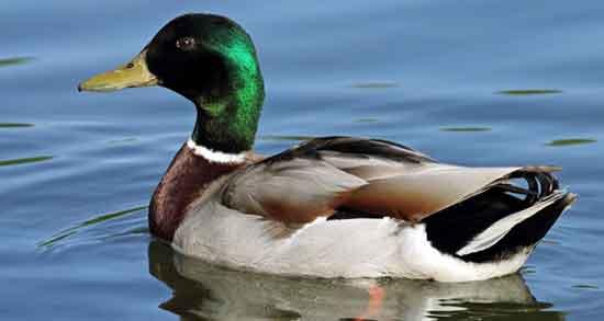 تعبیر خواب اردک ، زرد طلایی و سفید ابن سیرین قهوه ای سبز و گاز گزفتن جوجه اردک