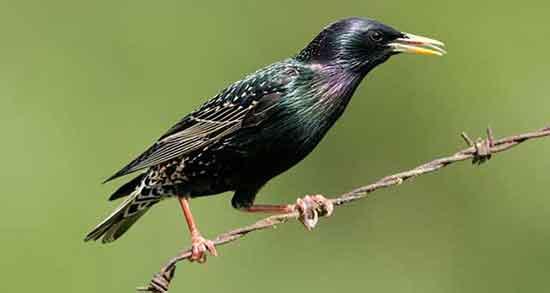 تعبیر خواب سار ، دیدن پرنده سار سیاه در خواب چه معنایی دارد