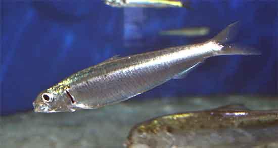 تعبیر خواب ساردین ، معنی دیدن ماهی ساردین در خواب چیست