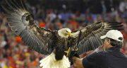 تعبیر خواب عقاب روی شانه ، و مدفوع و پر و حرف زدن عقاب و طاووس