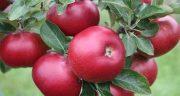 تعبیر خواب سیب قرمز برای زن باردار ، دیدن سیب قرمز در بارداری در خواب