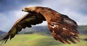 تعبیر خواب عقاب بزرگ ، سیاه و قهوه ای و سفید روی شانه و در خانه