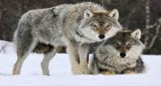 تعبیر خواب فرار از گرگ خاکستری ، و حمله گرگ به گوسفندان در خواب