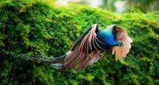 تعبیر خواب عقاب و طاووس ، و دیدن حمله عقاب و شکار کردن و نشستن روی شانه