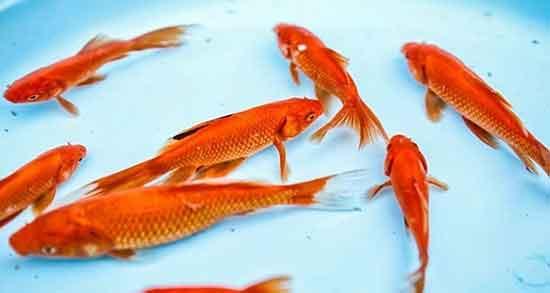 تعبیر خواب ماهی قرمز ، کوچک و بزرگ زیاد در حوض و در حال مردن امام صادق