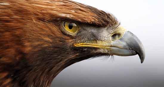 تعبیر خواب عقاب قهوه ای بزرگ ، روی شانه حضرت یوسف و حمله عقاب به ادم