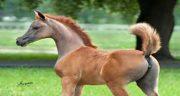 تعبیر خواب زایمان اسب ، و اسبی که زایمان میکند و در حال زاییدن و نوازش اسب سفید