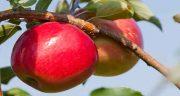 تعبیر خواب سیب چیدن ، و درخت پر از سیب از درخت و خوردن گلابی با هم