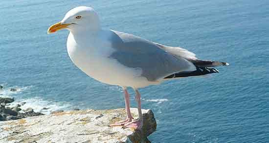 تعبیر خواب دریا و مرغ دریایی ، و مرغ ماهی خوار و مرغ آمین و کلاغ و مرغ عشق ابن سیرین