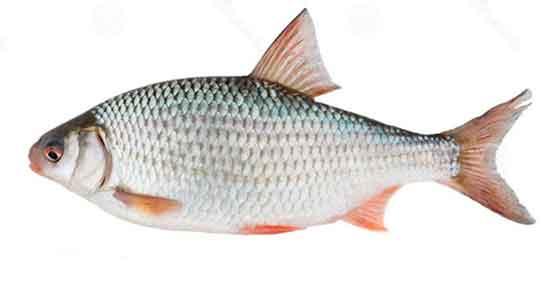 تعبیر خواب ماهی سفید ، صید و گرفتن ماهی سفید با دست از رودخانه و دریا