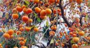تعبیر خواب باغ خرمالو ، معنی دیدن باغ بزرگ و پر از میوه خرمالو در خواب چیست