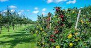 تعبیر خواب باغ میوه ، ابن سیرین و گیلاس و هلو و خریدن باغ میوه سرسبز و بزرگ