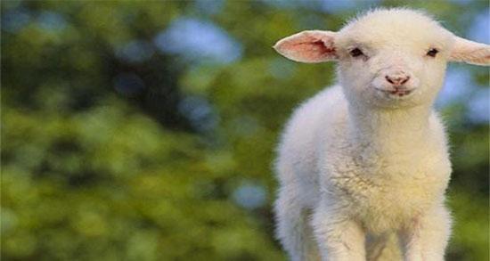 تعبیر خواب بره ، سیاه و سفید کوچک و زیاد و بریان و دوقلو ماده و بچه گوسفندی