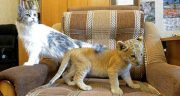 تعبیر خواب بچه شیر در خانه ، تعبیر دیدن بچه شیر جنگل در خانه چیست