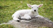 تعبیر خواب بچه گوسفندی ، و زاییدن گوسفند و بره های زیاد سیاه و سفید در خواب
