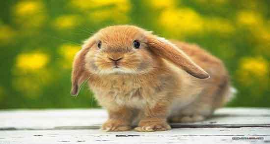 تعبیر خواب خرگوش طلایی ، معنی دیدن خرگوش طلایی و قهوه ای در خواب چیست