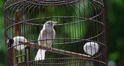 تعبیر خواب پرنده در قفس چیست ، و دیدن مرغ مینا و عروس هلندی در قفس