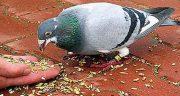 تعبیر خواب دانه دادن به کبوتر ، سفید در حرم و به کبوترهای سیاه و قهوه ای