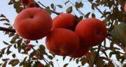 تعبیر خواب درخت خرمالو چیست ، معنی درخت خرمالو بزرگ و کوچک در خواب
