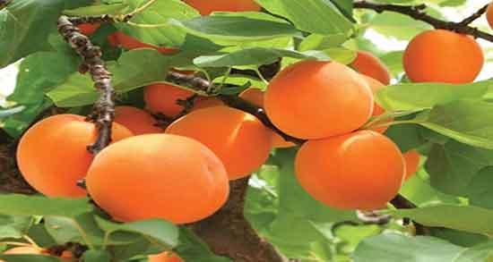 تعبیر خواب درخت زردآلو ابن سیرین ، در خانه و روی درخت چیدن و خوردن