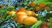 تعبیر خواب درخت زردآلو ، حضرت یوسف و ابن سیرین و امام صادق