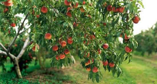 تعبیر خواب درخت میوه ، سیب و آلبالو و به و پرتقال و سپیدار ابن سیرین و امام صادق