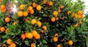 تعبیر خواب درخت پرتقال ، حضرت یوسف و امام صادق و ابن سیرین چیست