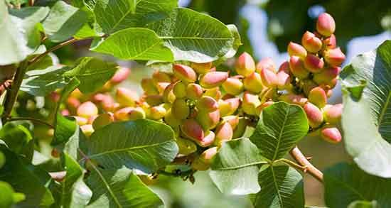 تعبیر خواب درخت پسته در خانه ، معنی دیدن درخت پسته در خانه چیست