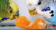 تعبیر خواب دیدن جوجه مرغ عشق ،  معنی دیدن و داشتن جوجه مرغ عشق در خواب