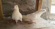 تعبیر خواب دیدن کبوتر سفید ، در خواب نشانه چیست و دیدن کبوتر زخمی