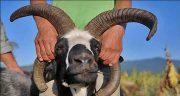 تعبیر خواب شاخ زدن بره ، معنی شاخ زدن بره و گوسفند در خواب ما چیست