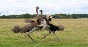 تعبیر خواب شتر مرغ وحشی ، معنی دیدن شترمرغ وحشی که نوک می زند چیست