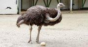 تعبیر خواب شتر مرغ ، امام صادق و حمله و دیدن جوجه شتر مرغ مرده چیست