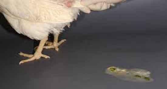 تعبیر خواب مدفوع مرغ خانگی ، و مدفوع پرنده روی سر و مدفوع پرندگان